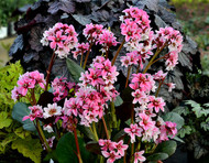 Bergenia 'Sakura' Courtesy of Walters Gardens