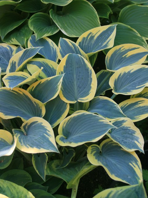 'First Frost' Hosta Courtesy of Walters Gardens