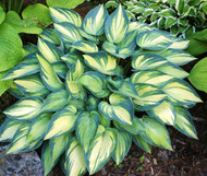 'June' Hosta From NH Hostas