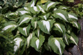 'Night Before Christmas' Hosta Courtesy of Walters Gardens
