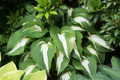 'Night Before Christmas' Hosta From NH Hostas
