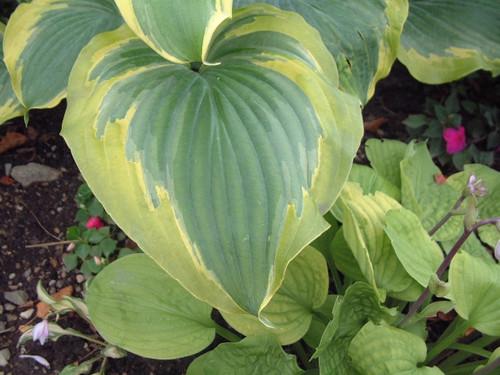 'Seducer' Hosta Courtesy of Walters Gardens