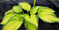 Hosta 'Amalia' Courtesy of Naylor Creek
