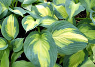 'Forbidden Fruit' Hosta From NH Hostas