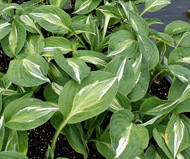 'Snake Eyes' Hosta From NH Hostas