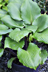 Hosta 'Plum Pudding' Courtesy of Green Hill Farm
