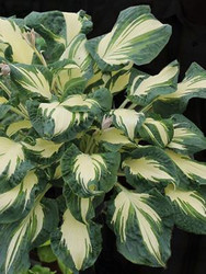 'Hans' Hosta Courtesy of Walters Gardens