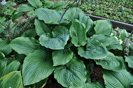 '1st and Ten' Hosta Courtesy of Green Hill Farm