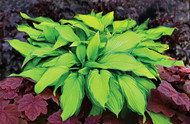 'Prairie's Edge' Hosta Courtesy of Walters Gardens