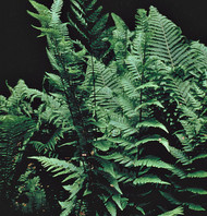 Dixie Wood Fern Courtesy of Casa Flora