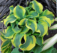 'School Mouse' Hosta Courtesy of Walters Gardens