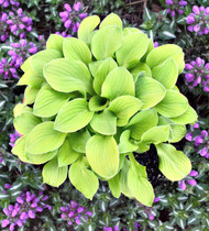 'Sun Mouse' Hosta Courtesy of Walters Gardens