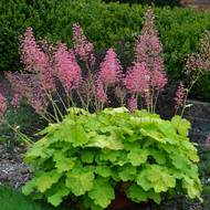 Heuchera 'Pretty Pistachio' Courtesy of Walters Gardens