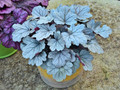 Heuchera 'Silver Gumdrop' Courtesy of Walters Gardens
