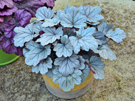 Heuchera 'Silver Gumdrop' Courtesy of Walters Gardens