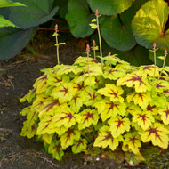 Heucherella 'Catching Fire' Courtesy of Walters Gardens