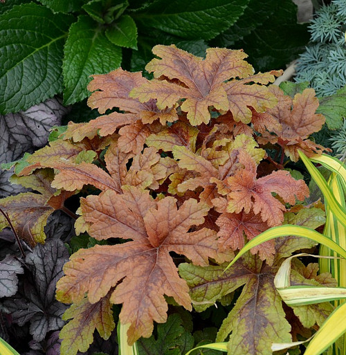 Heucherella 'Hopscotch' Courtesy of Walters Gardens
