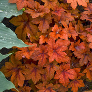 Heucherella 'Pumpkin Spice' Courtesy of Walters Gardens