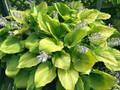 'Coast to Coast' Hosta Courtesy of Walters Gardens