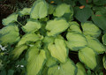 'Old Glory' Hosta From NH Hostas
