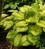 'Old Glory' Hosta Courtesy of Walters Gardens