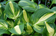 'Center of Attention' Hosta From NH Hostas