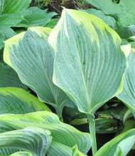 'Lakeside Fancy Pants' Hosta
