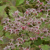 Epimedium 'Pink Champagne' Courtesy of Walters Gardens