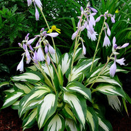 'Christmas Candy' Hosta Courtesy of Walters Gardens