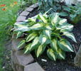 'Christmas Candy' Hosta From NH Hostas