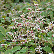 Epimedium 'Domino' Courtesy of Walters Gardens