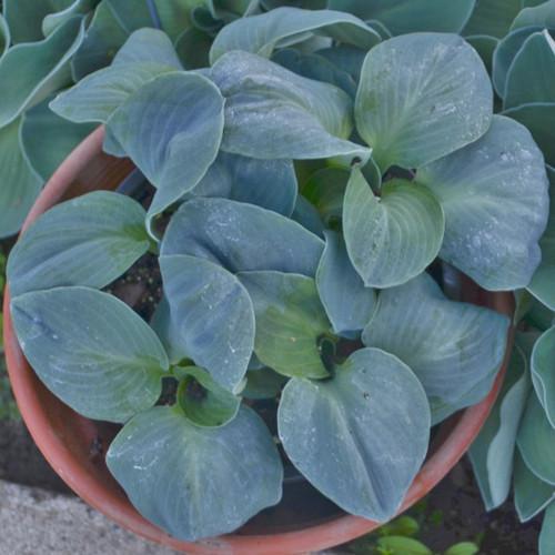 'Blue Elf' Hosta Courtesy of Walters Gardens