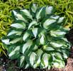'Vulcan' Hosta Courtesy of Walters Gardens