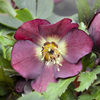 Helleborus 'Rome in Red' Courtesy of Walters Gardens