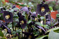 Helleborus 'New York Night' Courtesy of Walters Gardens