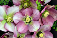 Helleborus 'Paris in Pink' Courtesy of Walters Gardens