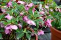 Helleborus 'Paris in Pink' Courtesy of Walters Gardens