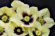 Helleborus 'Spanish Flare' Courtesy of Walters Gardens