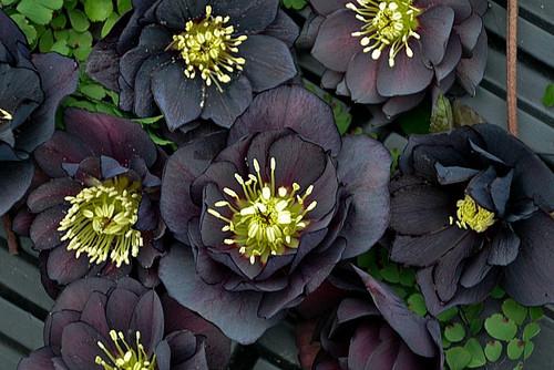 Helleborus 'Dark and Handsome' Courtesy of Walters Gardens