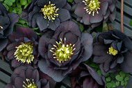 Helleborus 'Dark and Handsome' Courtesy of Walters Gardens