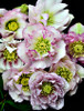 Helleborus 'Flower Girl' Courtesy of Walters Gardens