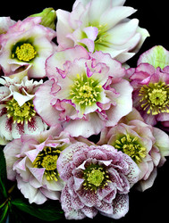 Helleborus 'Flower Girl' Courtesy of Walters Gardens