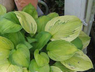 'Boracay' Hosta Courtesy of Naylor Creek