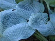 'Sapphire Pillows' Hosta Courtesy of Don Dean