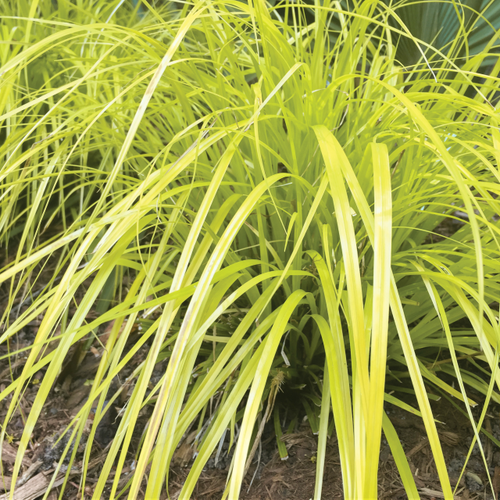 Carex 'Everillo' Courtesy of Walters Gardens