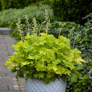 Heuchera 'Twist of Lime' Courtesy of Walters Gardens
