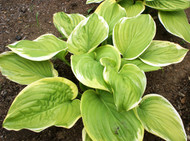 Fragrant Bouquet Hosta - Two Gallon