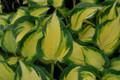 'Happy Dayz' Hosta Courtesy of Walters Gardens