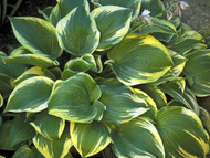 'Memories of Dorothy' Hosta Courtesy of Shady Oaks Nursery
