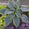 'Wu-La-la' Hosta Courtesy of Walters Gardens